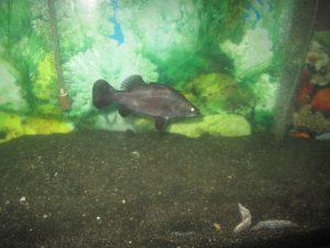 Barramundi im Aquarium