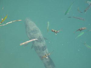 Grouper auf den Philippinen