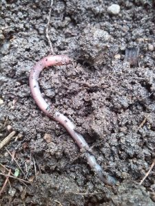 Wurm ausgegeraben auf Erde
