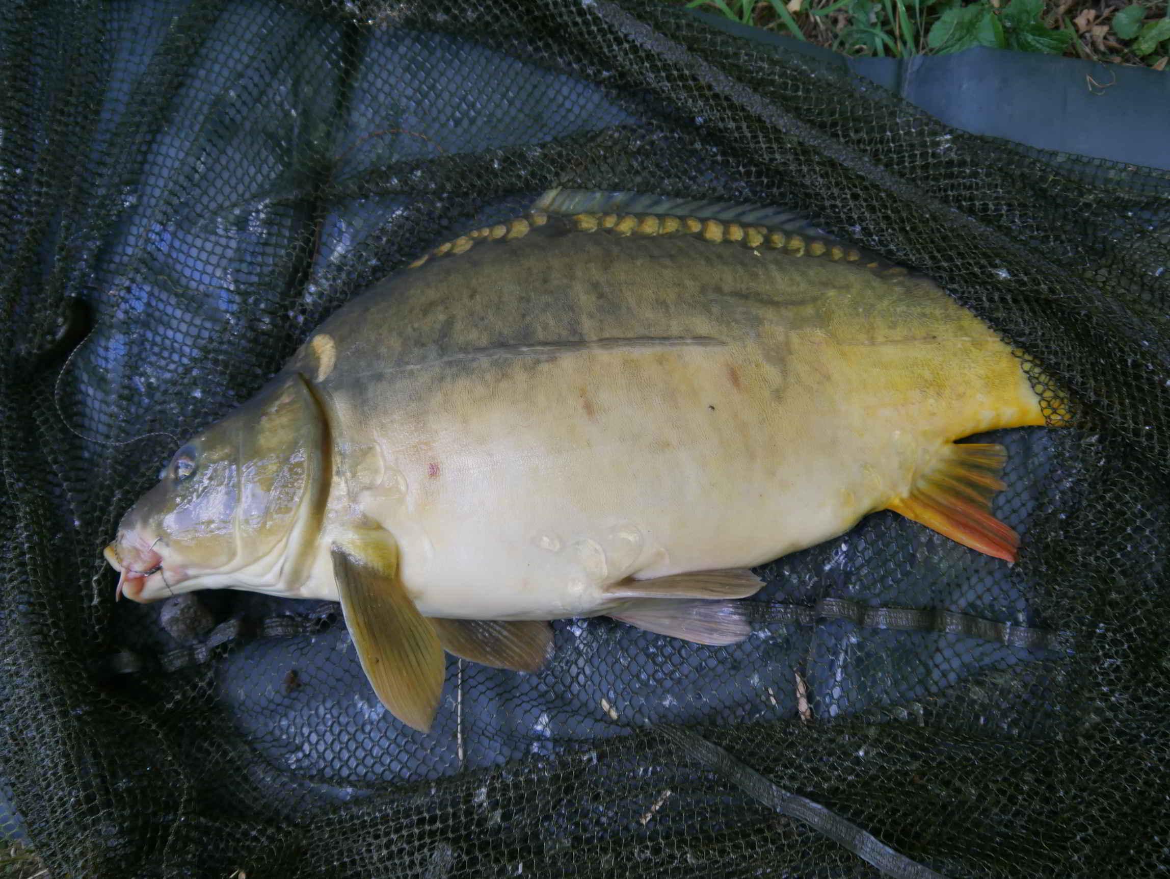 gro/ßer gummierter Kescher ideal f/ür Hecht Karpfen oder andere gro/ße S/ü/ßwasserfische