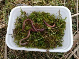 Wurmbox mit Würmern